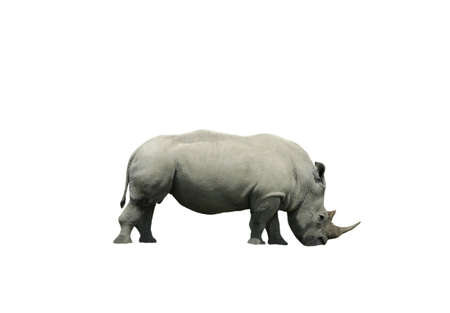 Horned rhinoceros isolated on a white background
