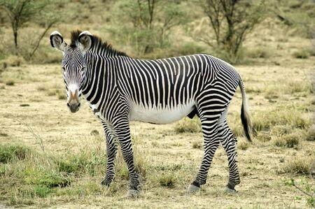 Zebra standing in the desert of Kenya