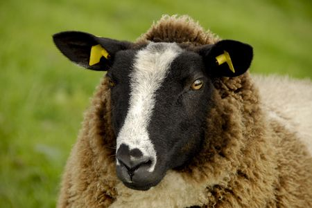 close-up of a brown sheep with yellow earrings
