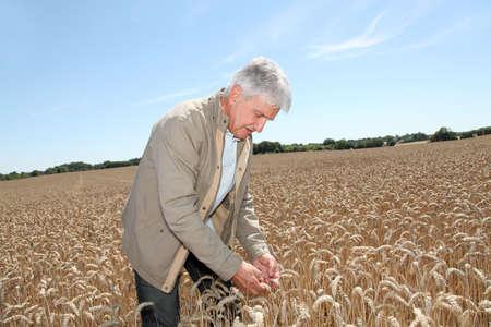 agronomist: Agronomist working in wheat field in summer season Stock Photo