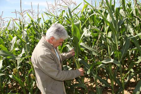 Agronomist analysing corn field  photo