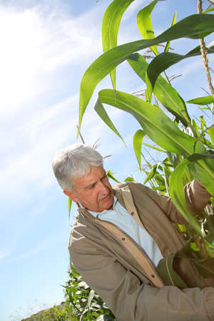 agronomist: Agronomist analysing corn field  Stock Photo