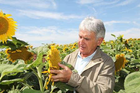 agronomist: Agronomist analysing sunflowers
