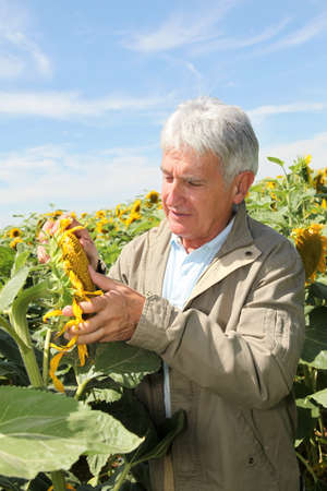 analysing: Agronomist analysing sunflowers