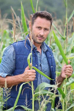 agronomist: Agronomist analysing cereals in corn field Stock Photo