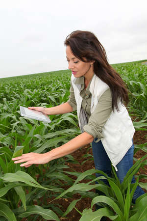 Agronomist examining plant in corn field photo