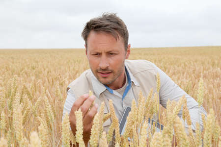 Portrait of agronomist analysing wheat ears photo