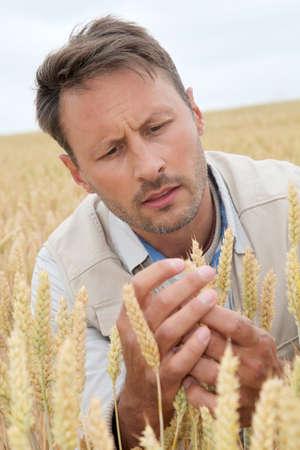 Portrait of agronomist analysing wheat ears photo