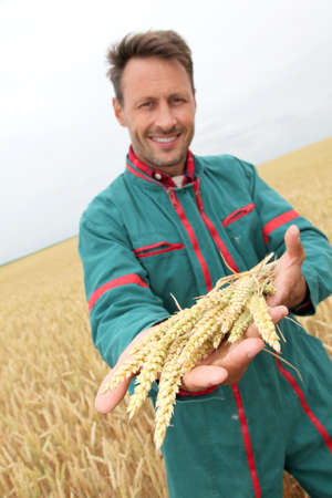 Farmer holding wheat ears in cereal field photo