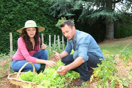 lettuces: Couple picking lettuces in vegetable garden Stock Photo