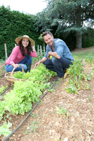 Couple picking lettuces in vegetable garden photo