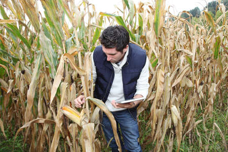 analysing: Agronomist analysing cereals with electronic tablet