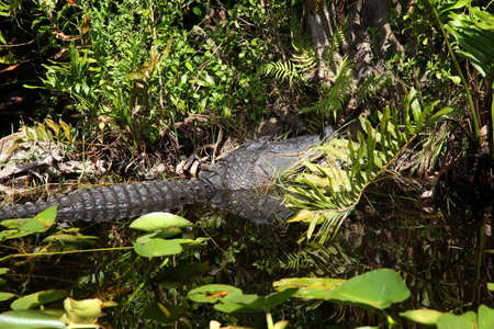 sawgrass: Alligator and wildlife of the Everglades National Park, Florida-  Stock Photo