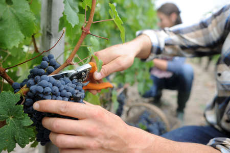 winemaking: Closeup on bunch of grapes being picked from row Stock Photo