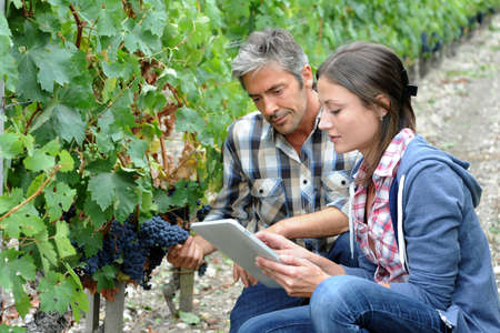 knelt: Winemarkers in vine rows checking grapes quality Stock Photo