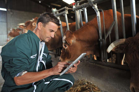 herdsman: Farmer in barn using digital tablet