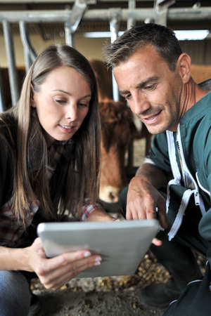 stock breeding: Farmer and veterinarian checking on cows