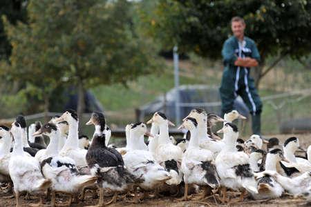 breeder: Ducks outside de farm and farmer in background Stock Photo
