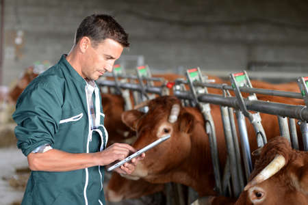 Cow breeder using touchpad inside the barn Stock Photo - 15427785
