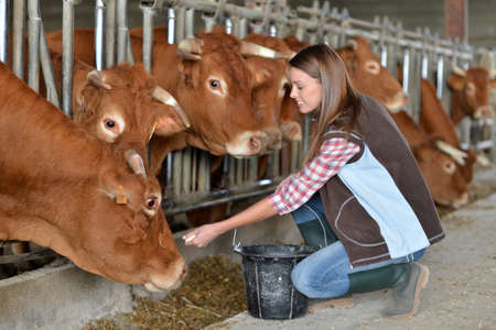 Woman feeding cows inside the barn Stock Photo - 15427757