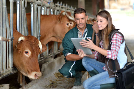 breeder: Farmer and veterinarian checking on cows