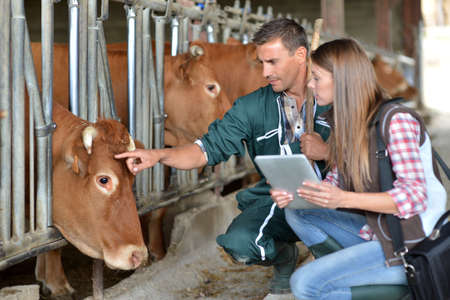 veterinarian: Farmer and veterinarian checking on cows
