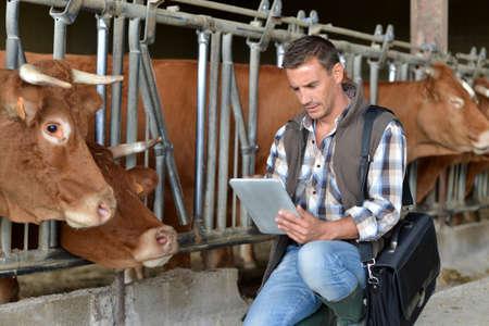 herdsman: Breeder in cow barn using digital tablet