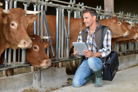 Breeder in cow barn using digital tablet Stock Photo - 15435384