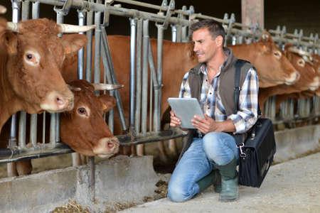 Criador en el granero de vaca con tableta digital Foto de archivo