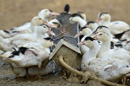 Ducks essen außerhalb des Stalls Standard-Bild