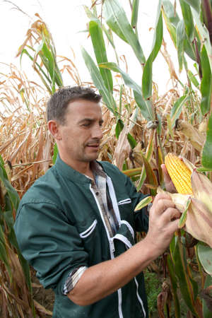 Farmer in field checking on corncobs photo
