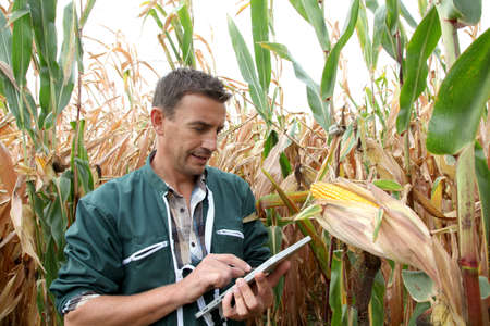 farmer's: Farmer checking on corn crops
