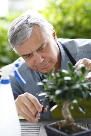 Senior man taking care of bonsai plant photo
