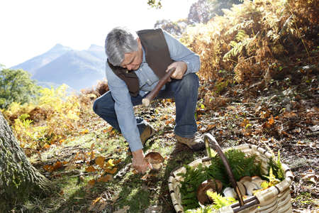 fall mushroom: Senior man knelt in forest looking for ceps Stock Photo