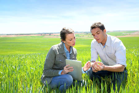 knelt: Agronomist looking at wheat quality with farmer