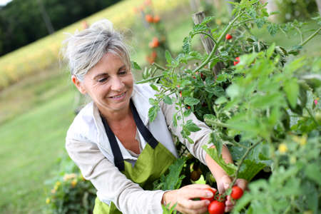 home garden: Senior woman picking tomatoes from vegetable garden