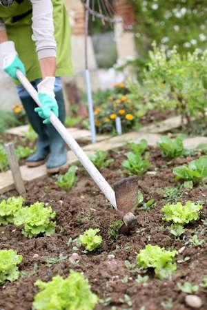 kitchen garden: Woman gardening lettuce in kitchen garden