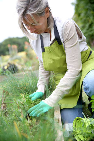 Senior woman planting aromatic herbs in kitchen garden photo