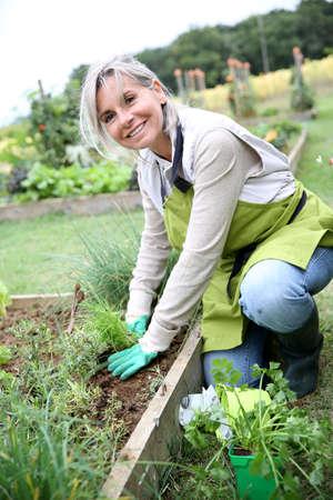 gardening: Senior woman planting aromatic herbs in kitchen garden