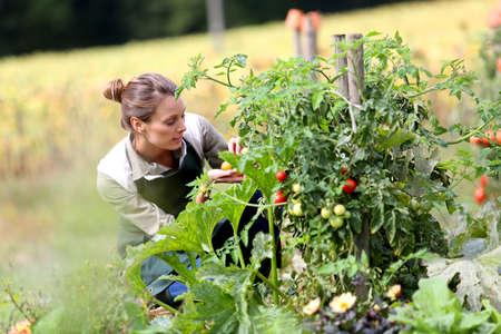 kitchen garden: Woman in kitchen garden picking tomatoes