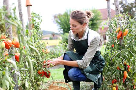 delantal: Mujer en cocina jardín recogiendo tomates Foto de archivo
