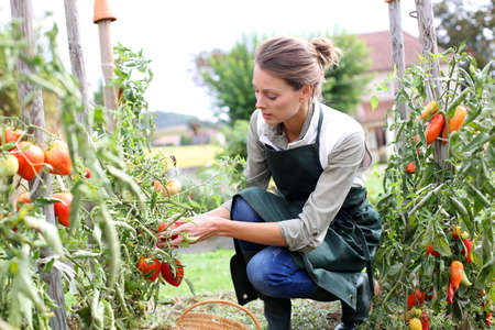 Woman in kitchen garden picking tomatoes photo