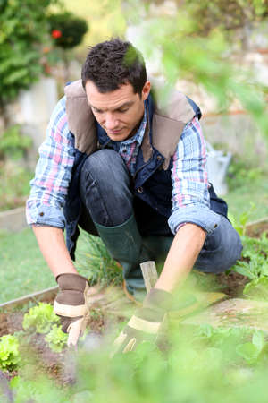 Man cultivating lettuces in kitchen garden Stock Photo