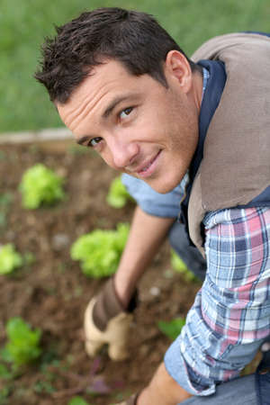 lettuces: Man cultivating lettuces in kitchen garden Stock Photo