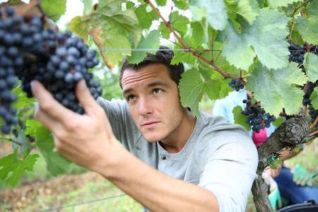 farm worker: Man in vineyard picking grapes Stock Photo