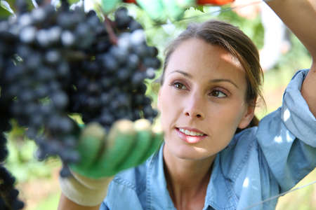Beautiful woman in vineyard picking grape Stock Photo - 22559505
