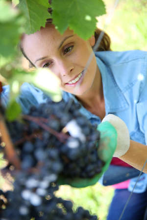 Beautiful woman in vineyard picking grape photo