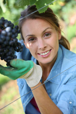 Beautiful woman in vineyard picking grape photo