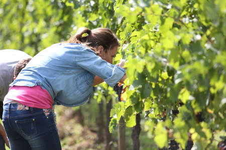 harvesters: Harvesters in vineyard cutting grapes from row Stock Photo