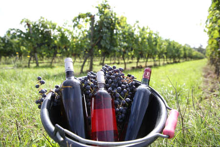 Bucket with wine bottles set in vineyard photo